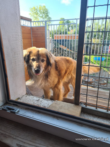 Vadim - dwukrotnie skrzywdzony...Wesoły, piękny pies ADOPCJA